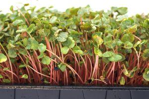 Fresh Organic Buckwheat Lettuce cut