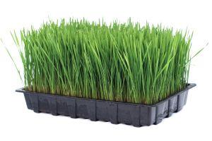 Fresh Organic Live Wheatgrass