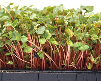 Organic Buckwheat seeds - How to Grow Buckwheat greens