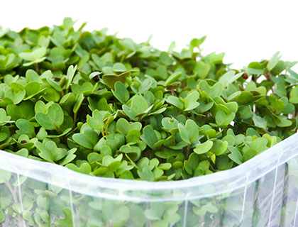 Organic Mustard Seed - How to Grow Mustard Sprouts