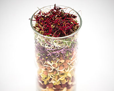 Organic Red Cabbage Seed - How to Grow Red Cabbage Sprouts