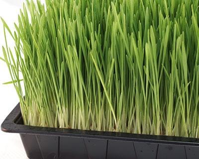 How to Grow Barleygrass Organic Barley Grain