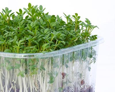 Organic Cress Seed - How to Grow Cress Sprouts