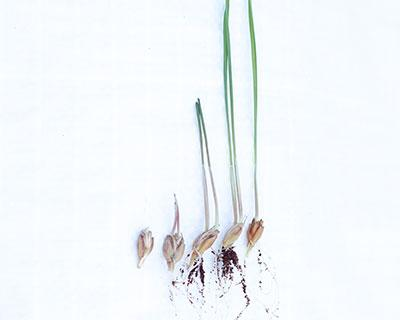 Organic Wheatgrass Care Instructions: Home Growing Instructions