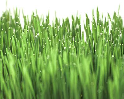 How to Grow Wheatgrass - Organic Spelt Grain