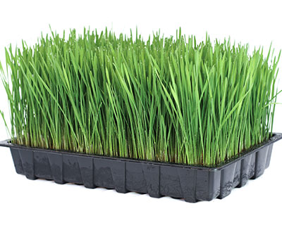How to Grow Wheatgrass - Organic Wheat Grain