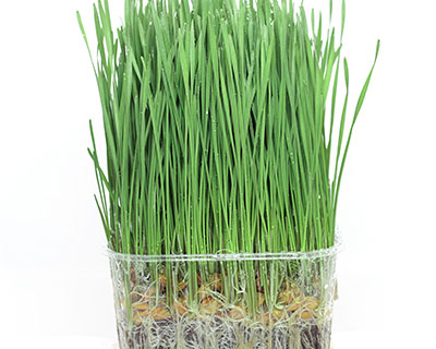 How to Grow Wheatgrass – You can use Spelt Grain or Wheat Grain for growing wheatgrass